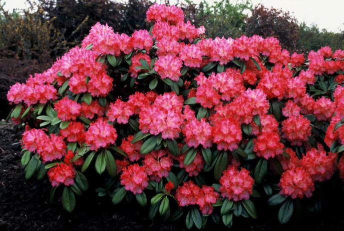 rhododendrons précoces | monjardin
